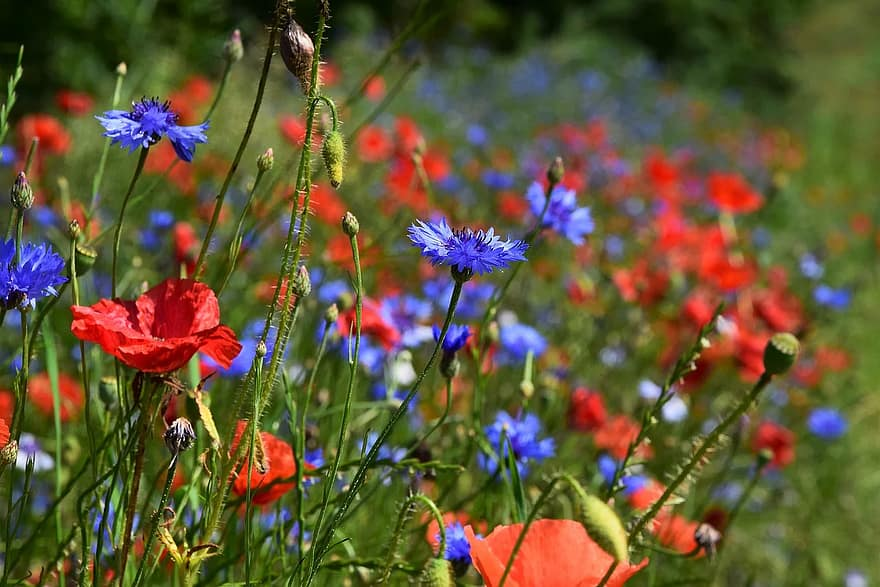 champ de poppies et de bleuets